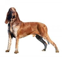 bracco italiano dog