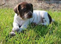 Braque Francais Puppies Photos