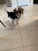 Braque Francais (Gascogne Type) Puppies Photos