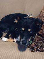 Brazilian Terrier Puppies Photos