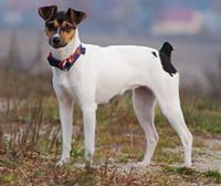 brazilian terrier dog