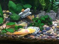 Bristlenose Pleco Fishes for sale in Arlington, WA, USA. price: NA