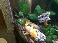 Bristlenose Pleco Fishes Photos
