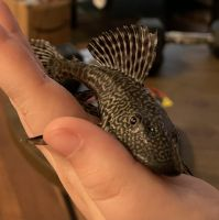 Bristlenose Pleco Fishes for sale in Las Vegas, NV, USA. price: NA
