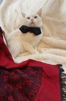 British Shorthair Cats for sale in Temecula, CA 92592, USA. price: NA