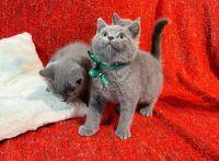 British Shorthair Cats for sale in Virginia Beach, VA, USA. price: NA