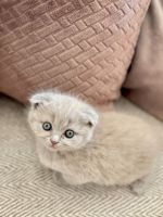 British Shorthair Cats for sale in Los Angeles, CA, USA. price: NA