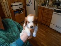 Brittany Puppies for sale in Moses Lake, WA 98837, USA. price: NA