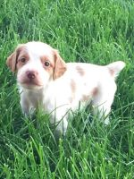 Brittany Puppies for sale in Provo, UT, USA. price: NA