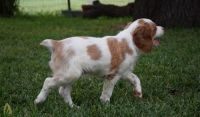 Brittany Puppies for sale in Colorado Springs, CO, USA. price: NA