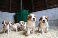 Brittany Puppies for sale in Honolulu, HI, USA. price: NA