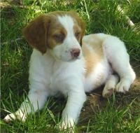 Brittany Puppies for sale in Beaver Creek, CO 81620, USA. price: NA