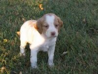 Brittany Puppies for sale in Arden, DE 19810, USA. price: NA