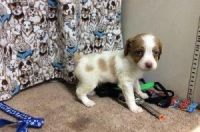 Brittany Puppies for sale in Bakersfield, CA, USA. price: NA