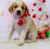 Brittany Puppies for sale in Los Angeles, CA, USA. price: NA