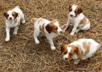 Brittany Puppies for sale in Georgetown, GA, USA. price: NA