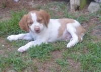 Brittany Puppies for sale in Bastrop, LA 71220, USA. price: NA