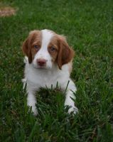 Brittany Puppies for sale in Austin, TX, USA. price: NA