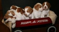 Brittany Puppies for sale in Portland, OR, USA. price: NA