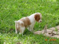 Brittany Puppies for sale in St. Louis, MO, USA. price: NA