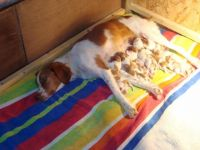Brittany Puppies for sale in Huntington Beach, CA, USA. price: NA