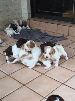 Brittany Puppies for sale in San Bernardino, CA, USA. price: NA