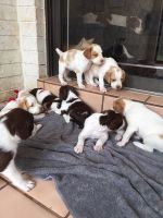 Brittany Puppies for sale in Fresno, CA, USA. price: NA