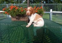 Brittany Puppies for sale in Chicago, IL, USA. price: NA