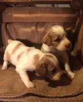 Brittany Puppies for sale in New York, NY, USA. price: NA