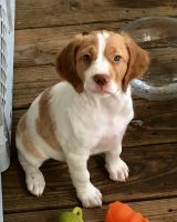 Brittany Puppies for sale in Mt Holly, NC, USA. price: NA