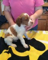 Brittany Puppies for sale in Seattle, WA, USA. price: NA