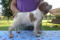 Brittany Puppies for sale in Huntington, WV 25776, USA. price: NA