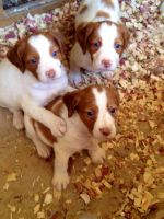 Brittany Puppies for sale in Weatherford, TX, USA. price: NA