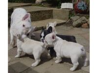 Brittany Puppies for sale in Indianapolis, IN, USA. price: NA