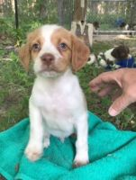 Brittany Puppies for sale in CA-111, Rancho Mirage, CA 92270, USA. price: NA