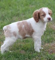 Brittany Puppies for sale in Windom, MN 56101, USA. price: NA