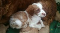 Brittany Puppies for sale in Danvers, MA 01923, USA. price: NA