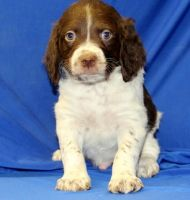 Brittany Puppies for sale in Houston, TX, USA. price: NA