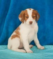 Brittany Puppies for sale in Auburn, AL, USA. price: NA
