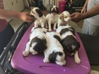 Brittany Puppies for sale in Lake, MI 48632, USA. price: NA