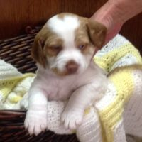 Brittany Puppies for sale in Galena, OH 43021, USA. price: NA