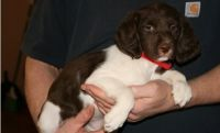 Brittany Puppies for sale in New Orleans, LA, USA. price: NA