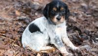 Brittany Puppies for sale in Milwaukee, WI, USA. price: NA