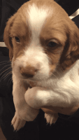 Brittany Puppies for sale in Huntertown, IN, USA. price: NA