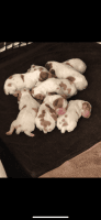 Brittany Puppies Photos
