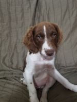 Brittany Puppies for sale in Benton City, WA 99320, USA. price: NA