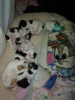 Brittany Puppies for sale in Reno, NV, USA. price: NA