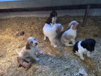 Brittany Puppies for sale in 1406 20th Ave, West Bend, IA 50597, USA. price: NA