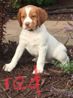 Brittany Puppies for sale in Fergus Falls, MN 56537, USA. price: NA