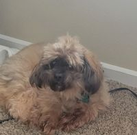 Brussels Griffon Puppies for sale in Indianapolis, IN, USA. price: NA
